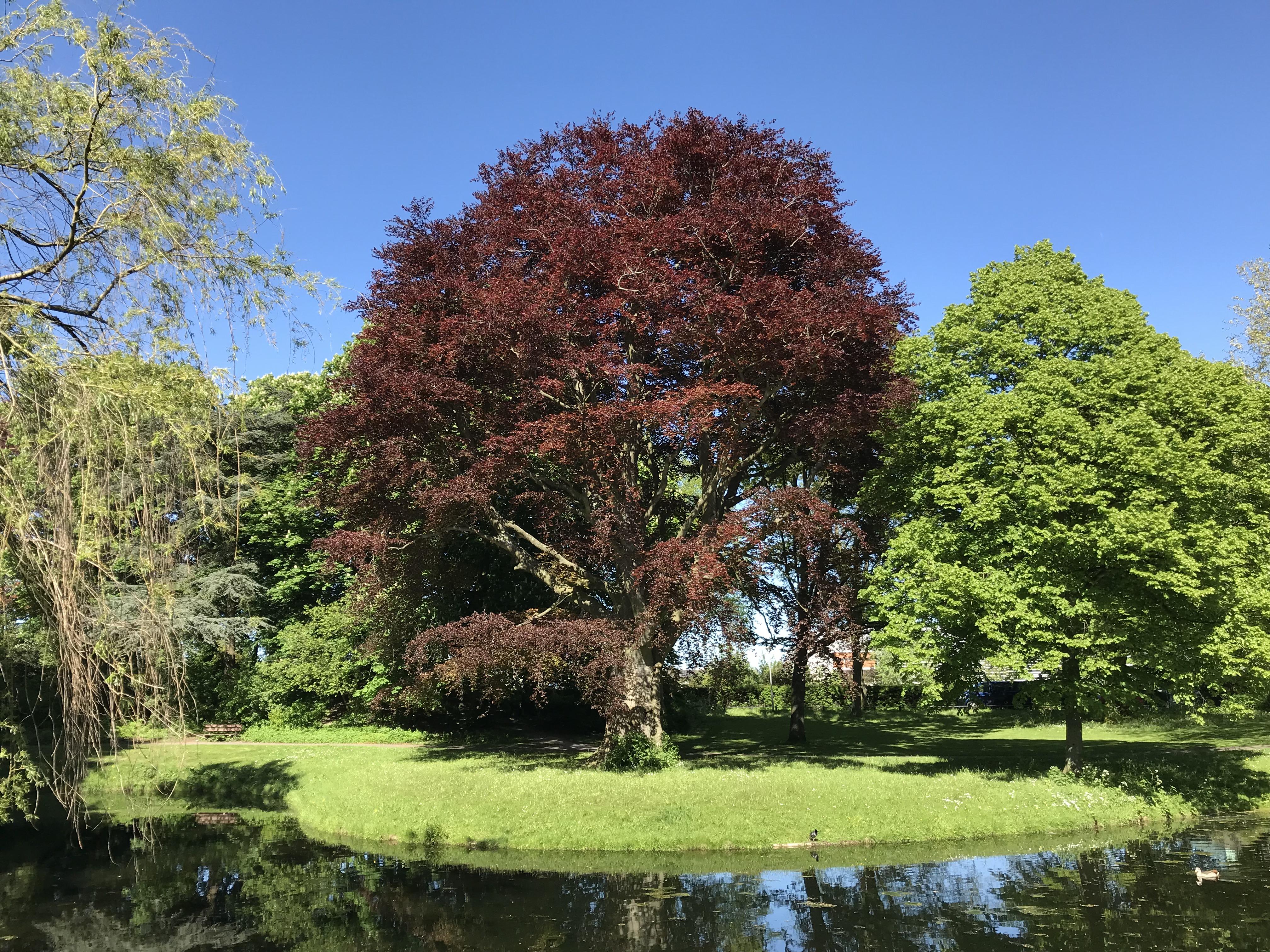 Monumentale beuk_park Arentsburgh