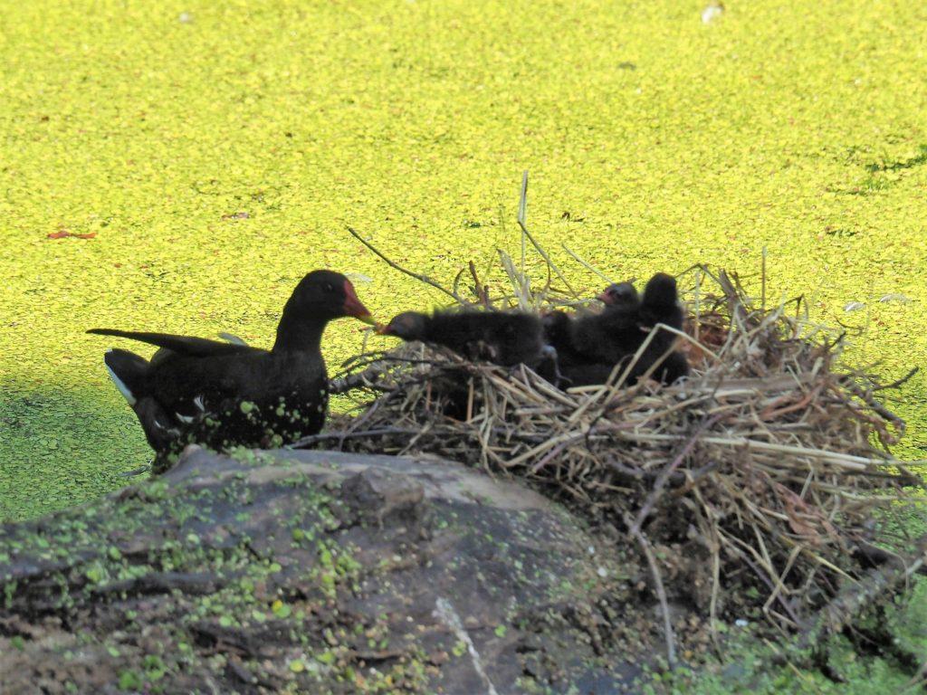 Nest Waterhoen_1