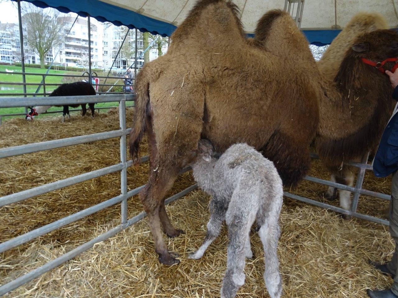 kameel DSC09013