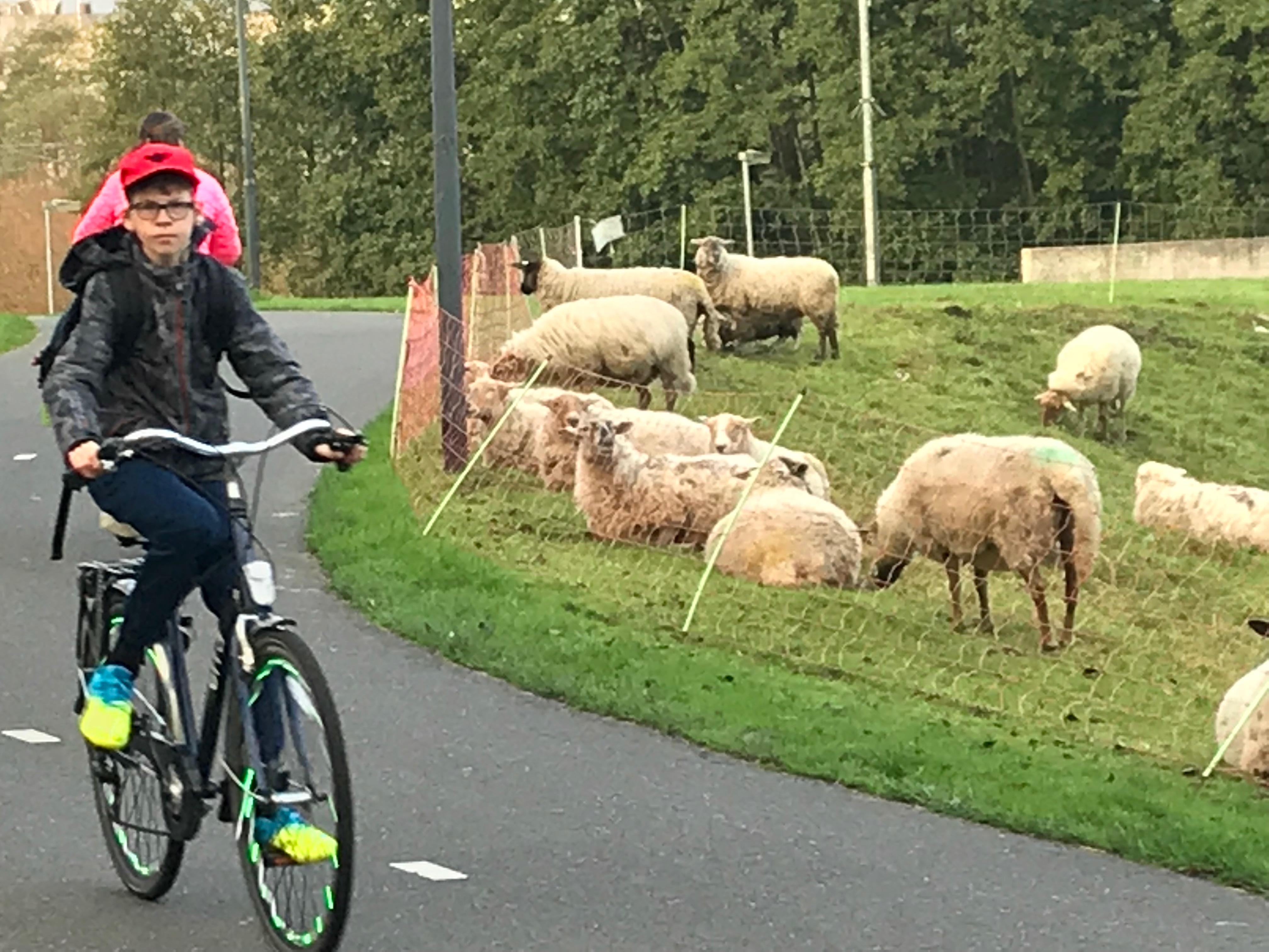 schapen IMG_3810